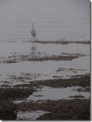 Heron at Boticanial Beach
