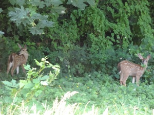 The Fawns in the back Yard 001