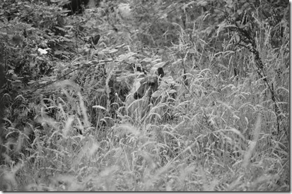 Aug Fawn BW 2013