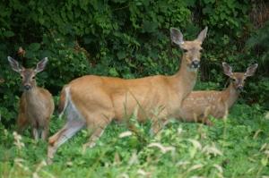 Deer Family shot