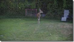 Dinner for the deer 001
