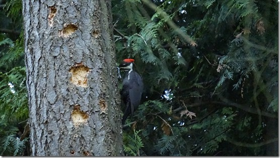 woodpecker, layers, 066
