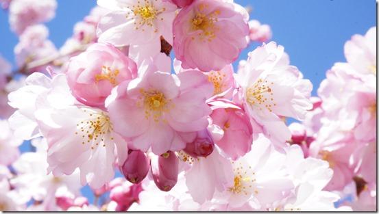 Cherry Blossom 2014 012